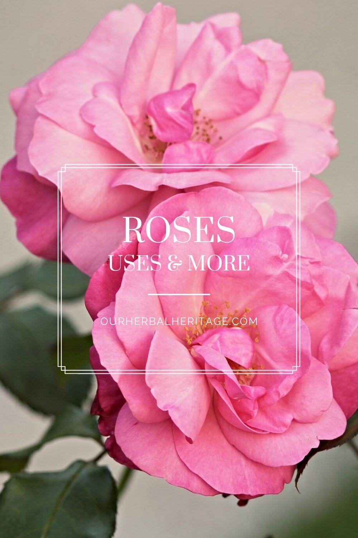 Roses Our Herbal Heritage In 2020 Herbalism Rose Medicinal Plants