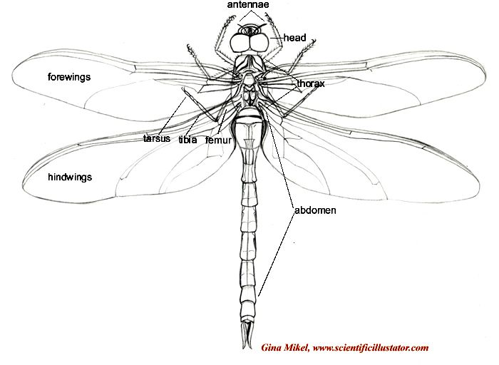 1000 images about dragonfly on pinterest end of solar and body  : dragonfly diagram - findchart.co