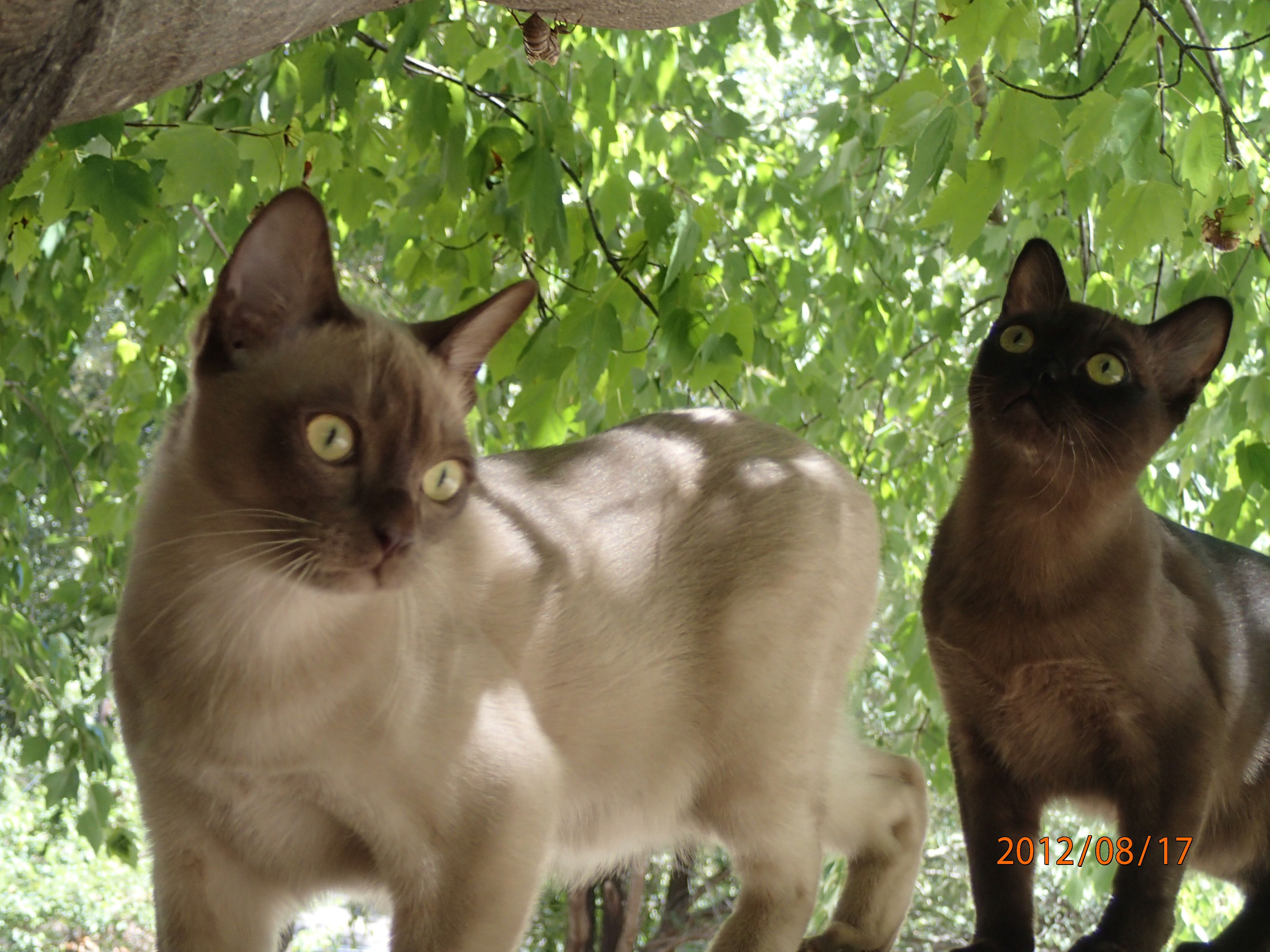 Burmese Kittens 6 1 2 Months Old Sir Winston Churchill And His Brother Franklin D Roosevelt Animaux