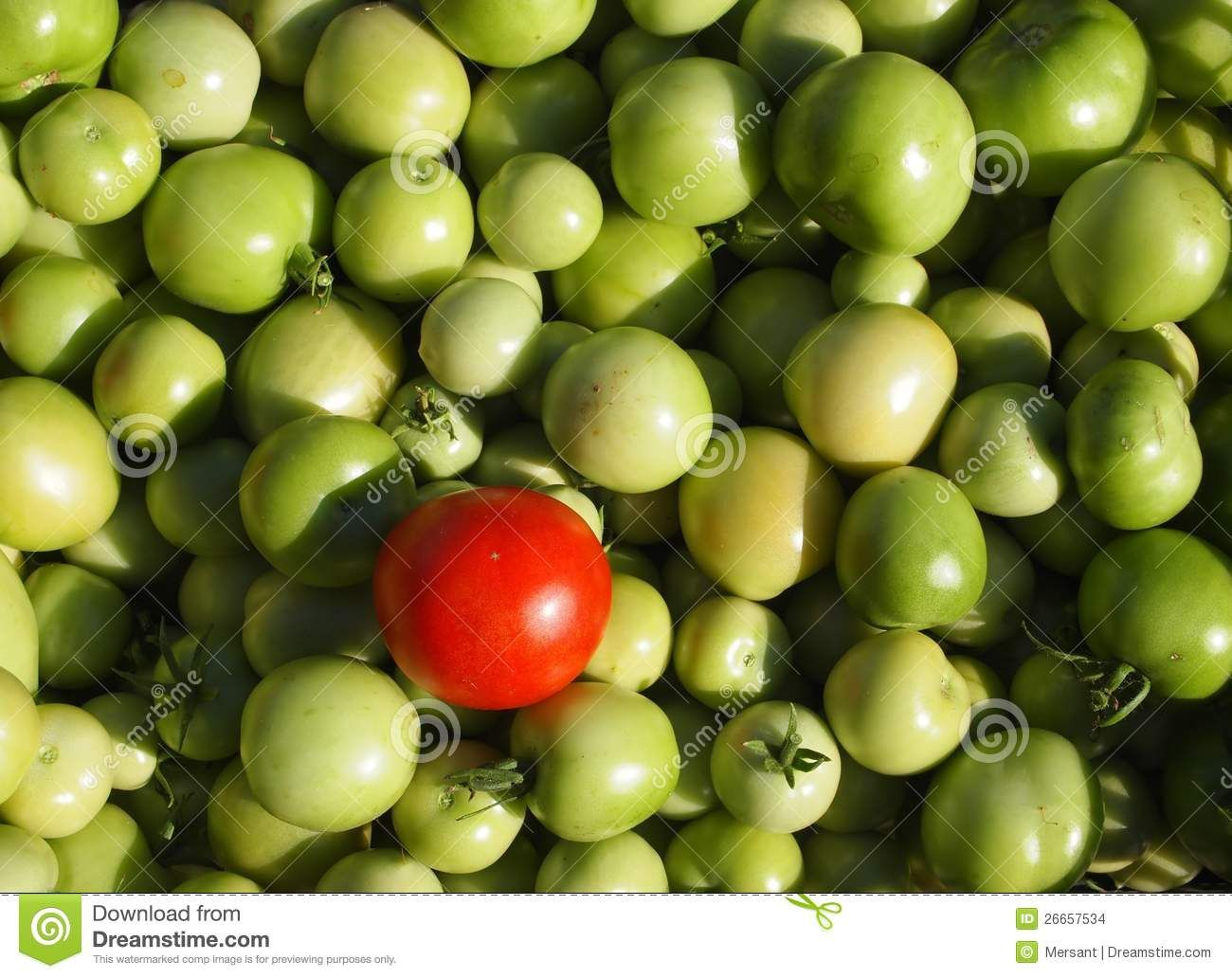 Many green tomatoes and one red tomato
