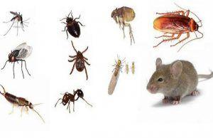 Como Acabar Con Las Chinches En Casa Seis Formas De Alejar A Los Insectos De Manera Natural