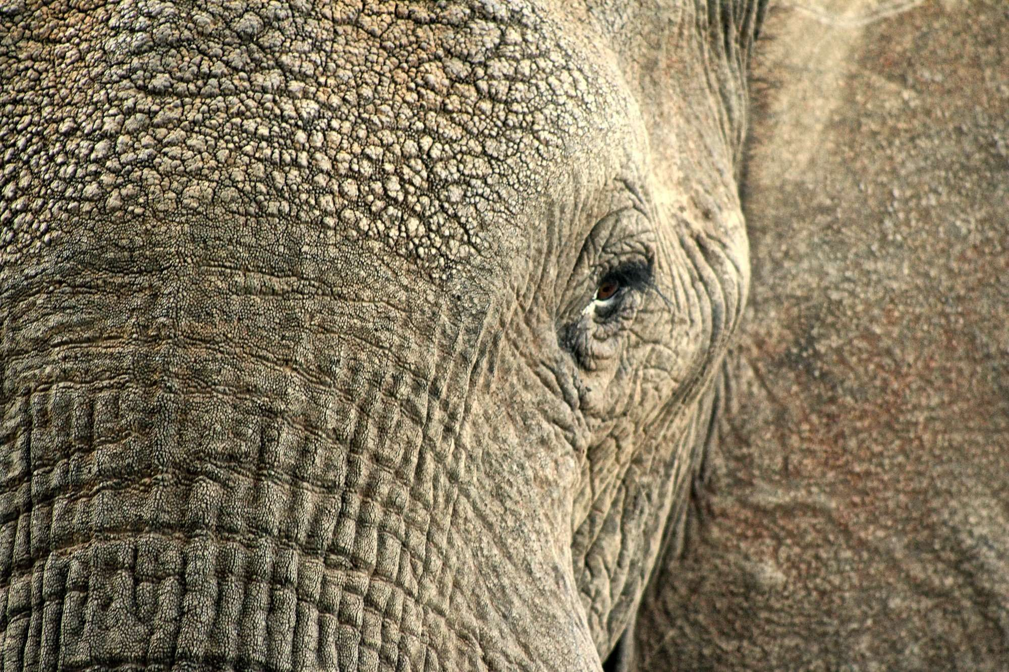 Africa Animal Closeup Elephant Hdr Hide Macro Safari Skin