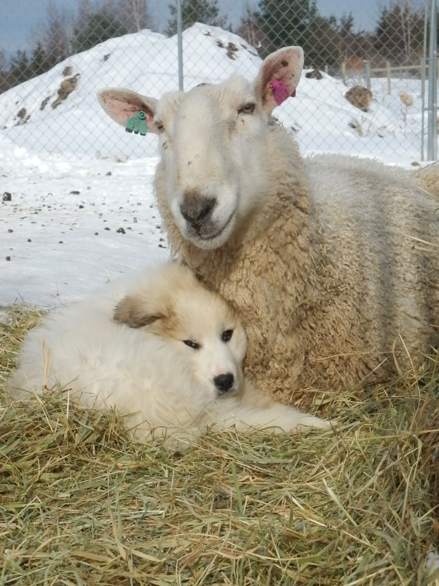 Ask The Shepherd Livestock Guardian Dogs With Hannah Smith