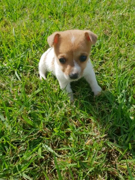 Mini Foxie Puppies Dogs And Puppies Puppies Fox Terrier