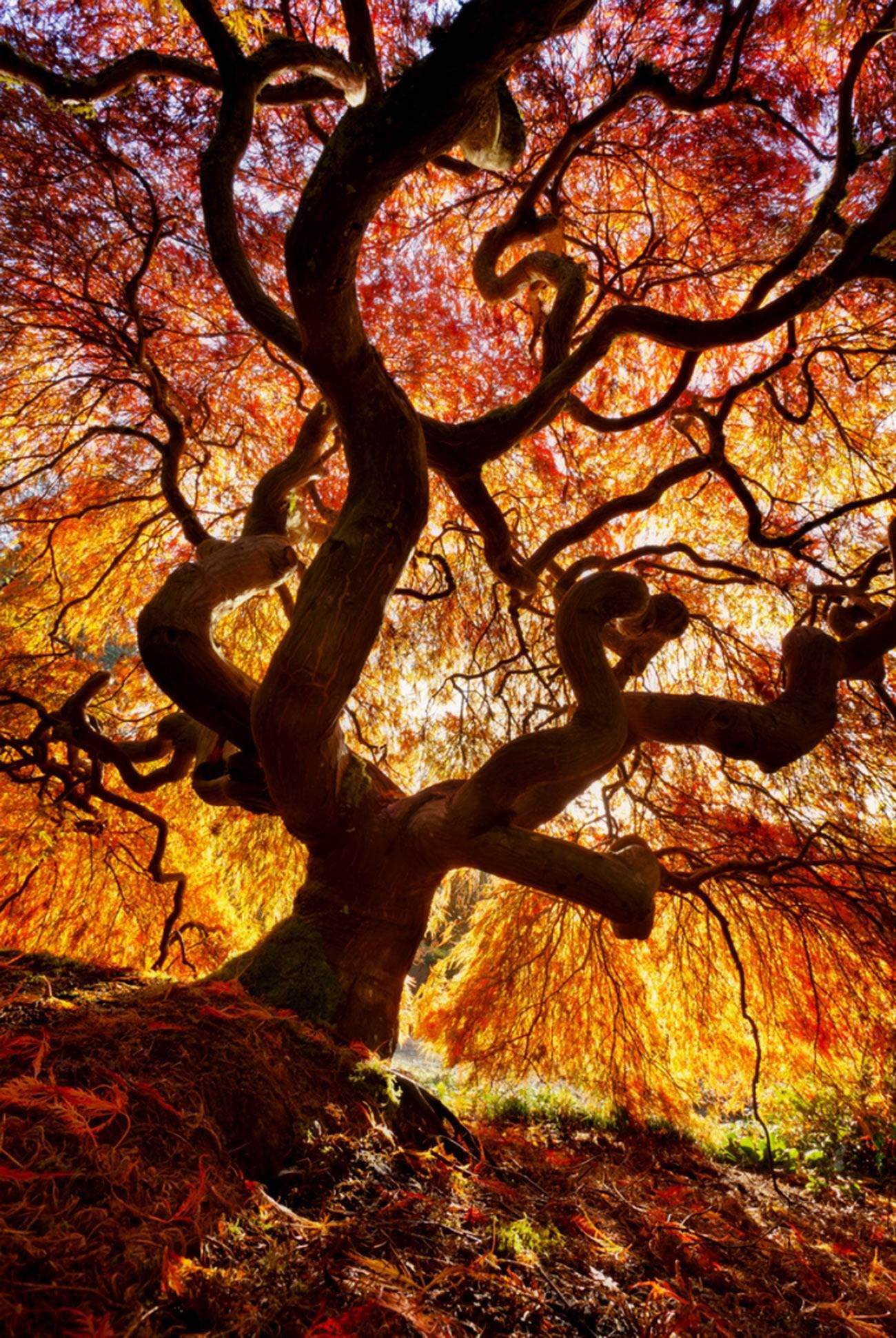 Breathtaking-Japanese-Fire-Tree.jpg (1300×1941) | Permaculture ...