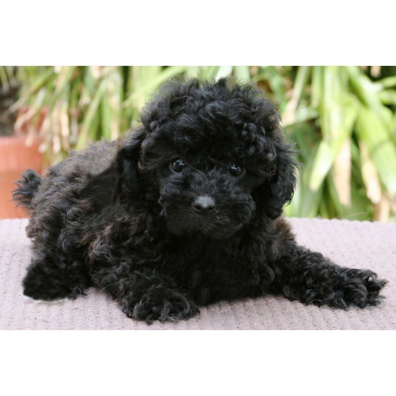 Puppies For Sale Schnoodles In Riverside California