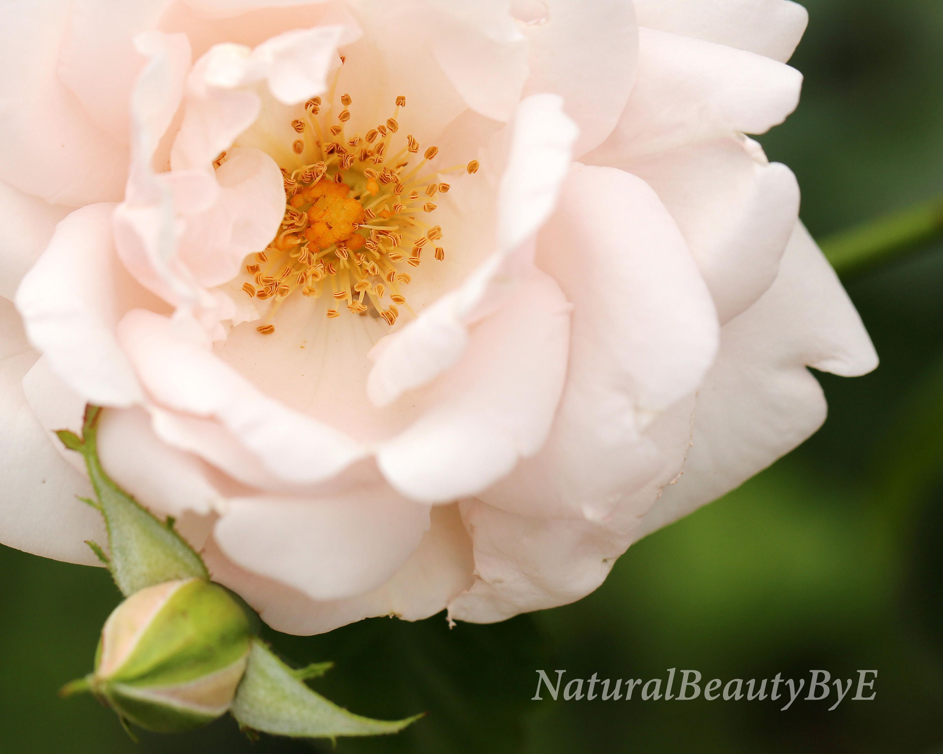 Pale Pink Rose Print Macro Close Up Flower Photography Nature