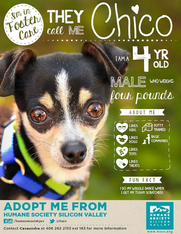 Adoptable Chihuahua Mix Dog Chico 120149 Humane Society