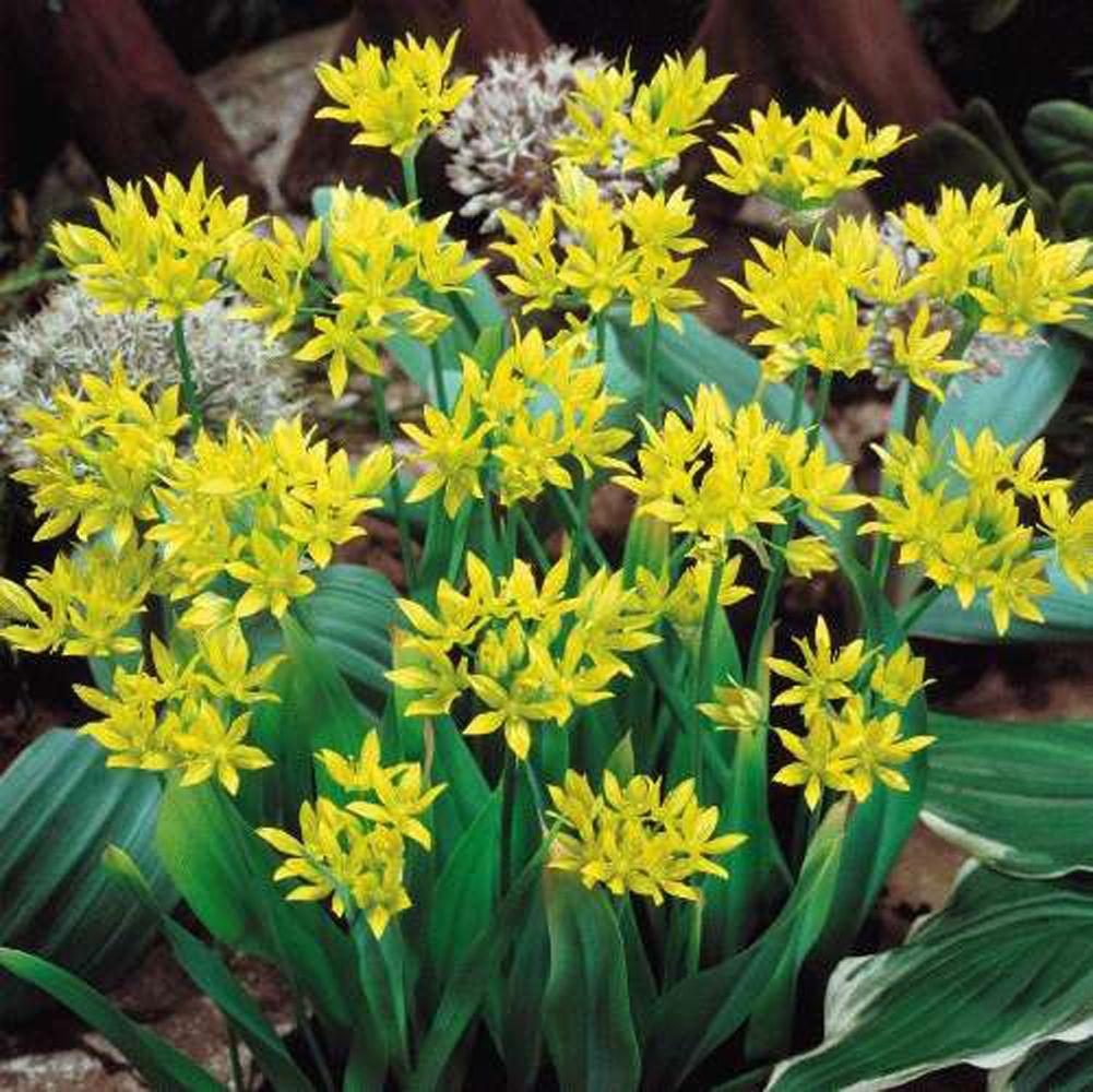 Allium Moly Yellow Google Search Gardens Pinterest Allium