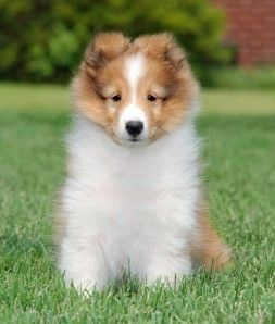 Sheltie Puppy Fluffy Stuff Lol Sheltie Puppy Puppies Shetland Sheepdog Puppies