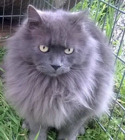 Original Pinner Caesar My Russian Blue Long Hair Cat Looks