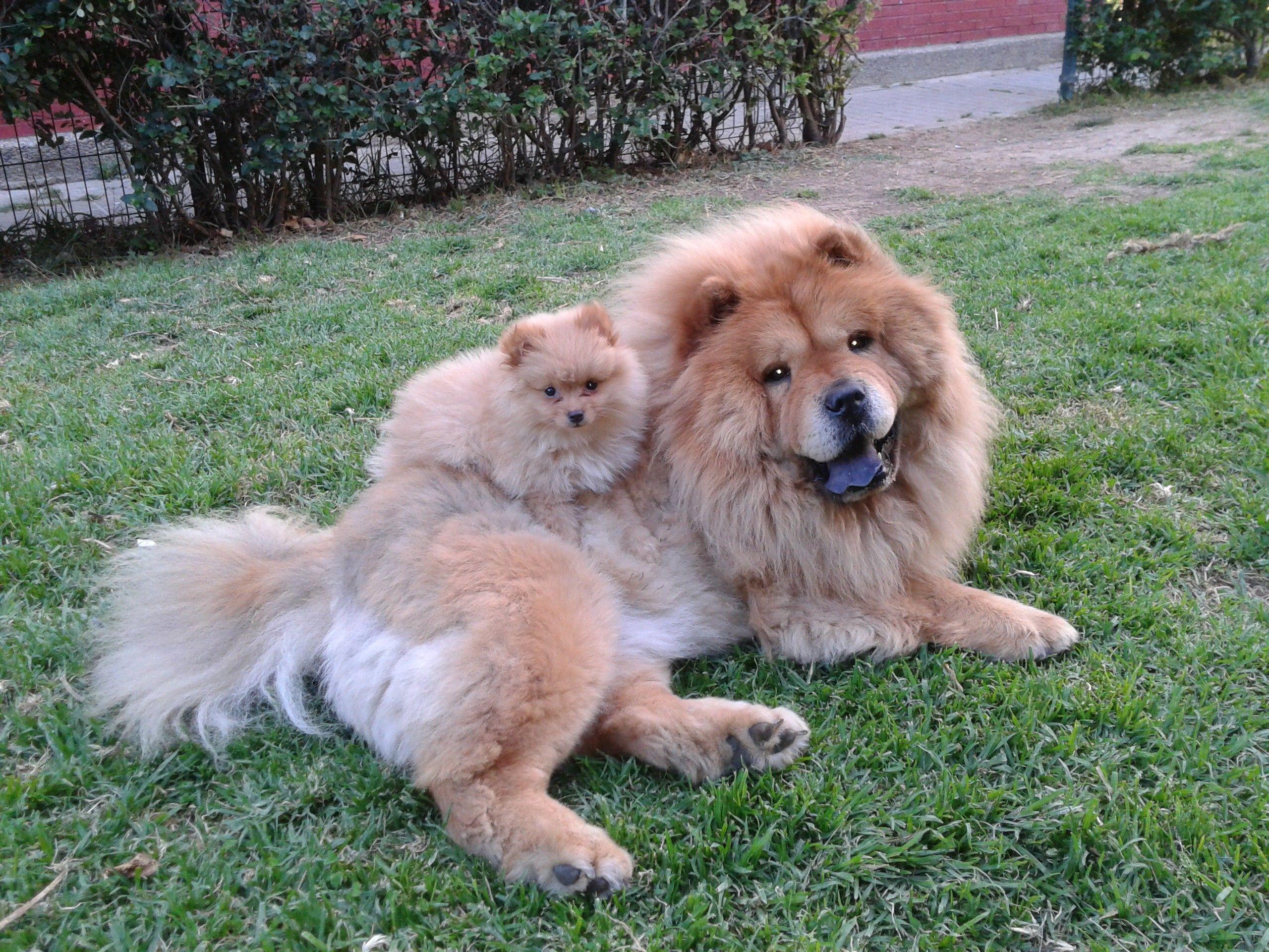 Akira Y Amy Mis Preciosas Chow Chow Y Pomerania With Images
