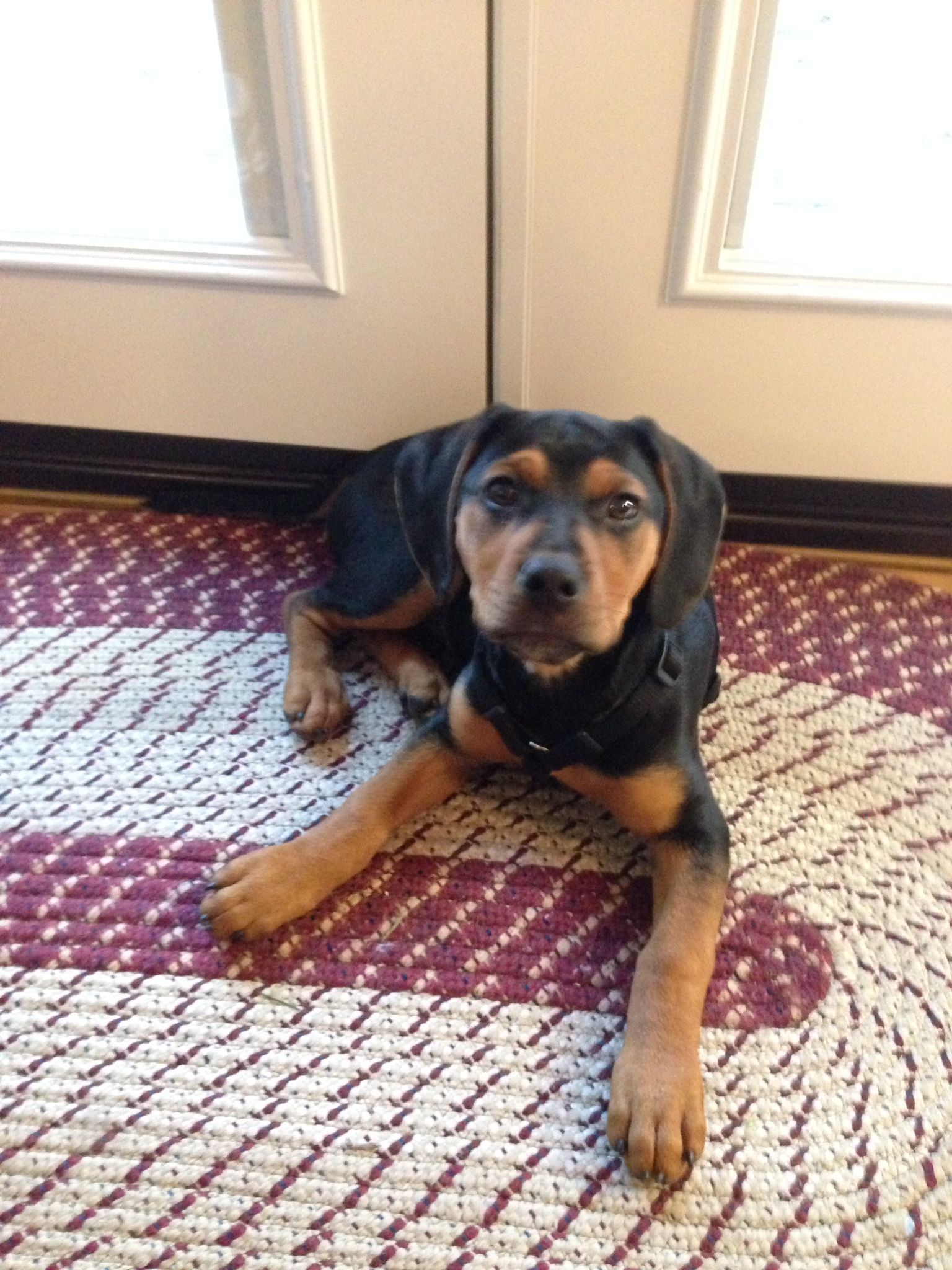 My New Pup At 14 Weeks Rescue Dog Beagle Boxer Rottweiler Mix