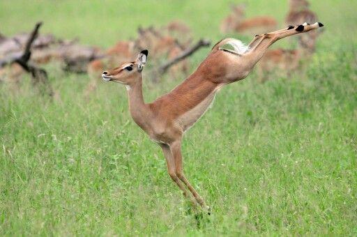 impala animal jumping - 1024×680