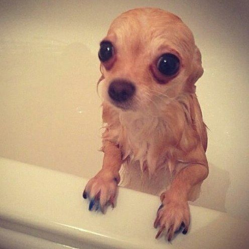 Are You Bathing Your Chihuahua With The Right Product Checkout