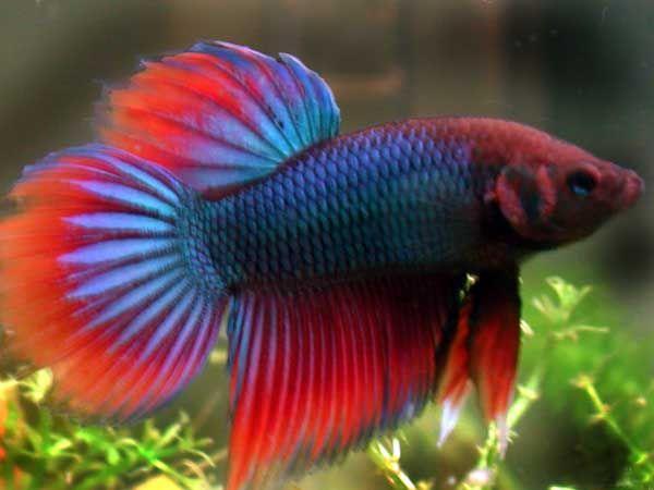 peces de agua dulce exoticos - Buscar con Google