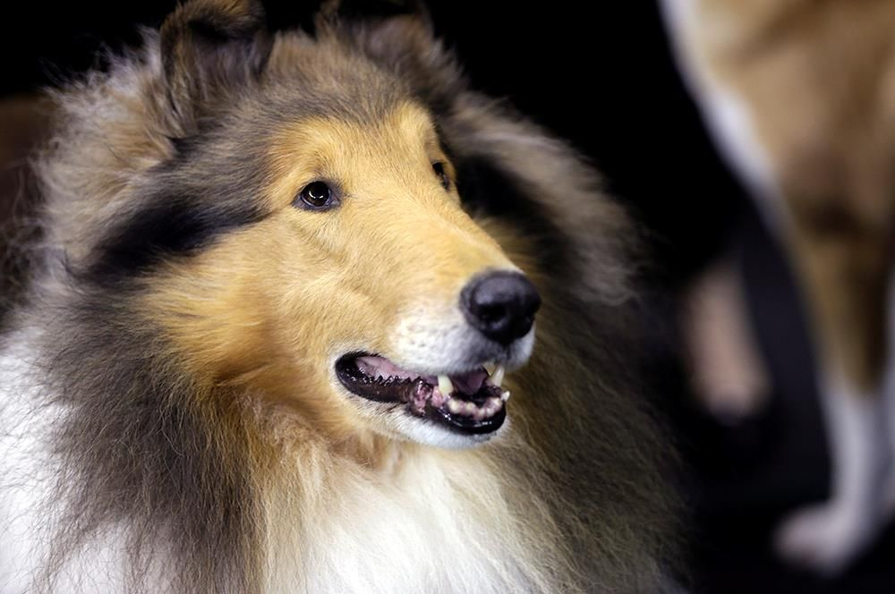Pin By S Burchfield On Shelties Collies Westminster Dog Show