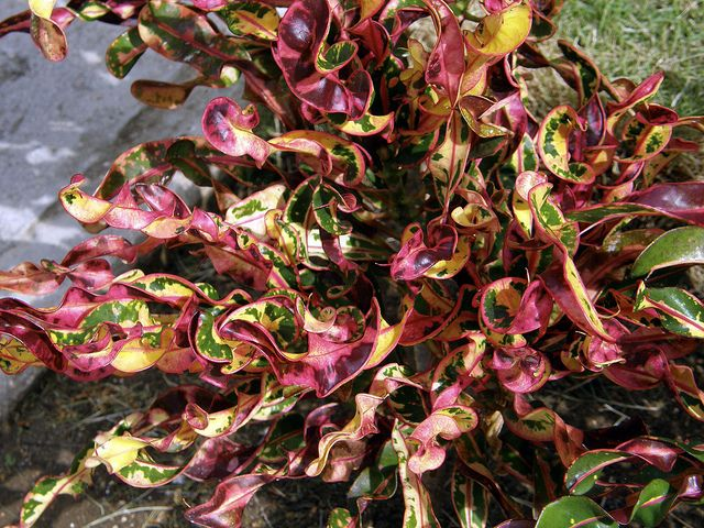 Incredible Curly Croton Plant Plants Outdoor Plants 400 x 300