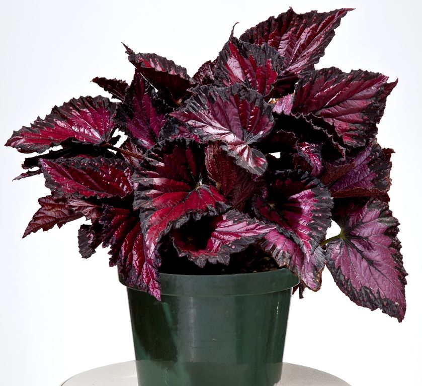 Begonia Rex Shadow King Rothko Life Style Plants With