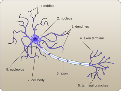 Labelled Diagram Of Nerve Cell Transformers Wiring Diagrams Labeled A Neuron Medical Coding Board Anatomy