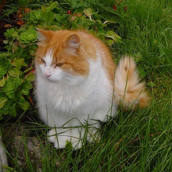 Cat Breeds A To Z Norwegian Forest Cat Photo Norwegian Forest Cat Forest Cat Norwegian Forest