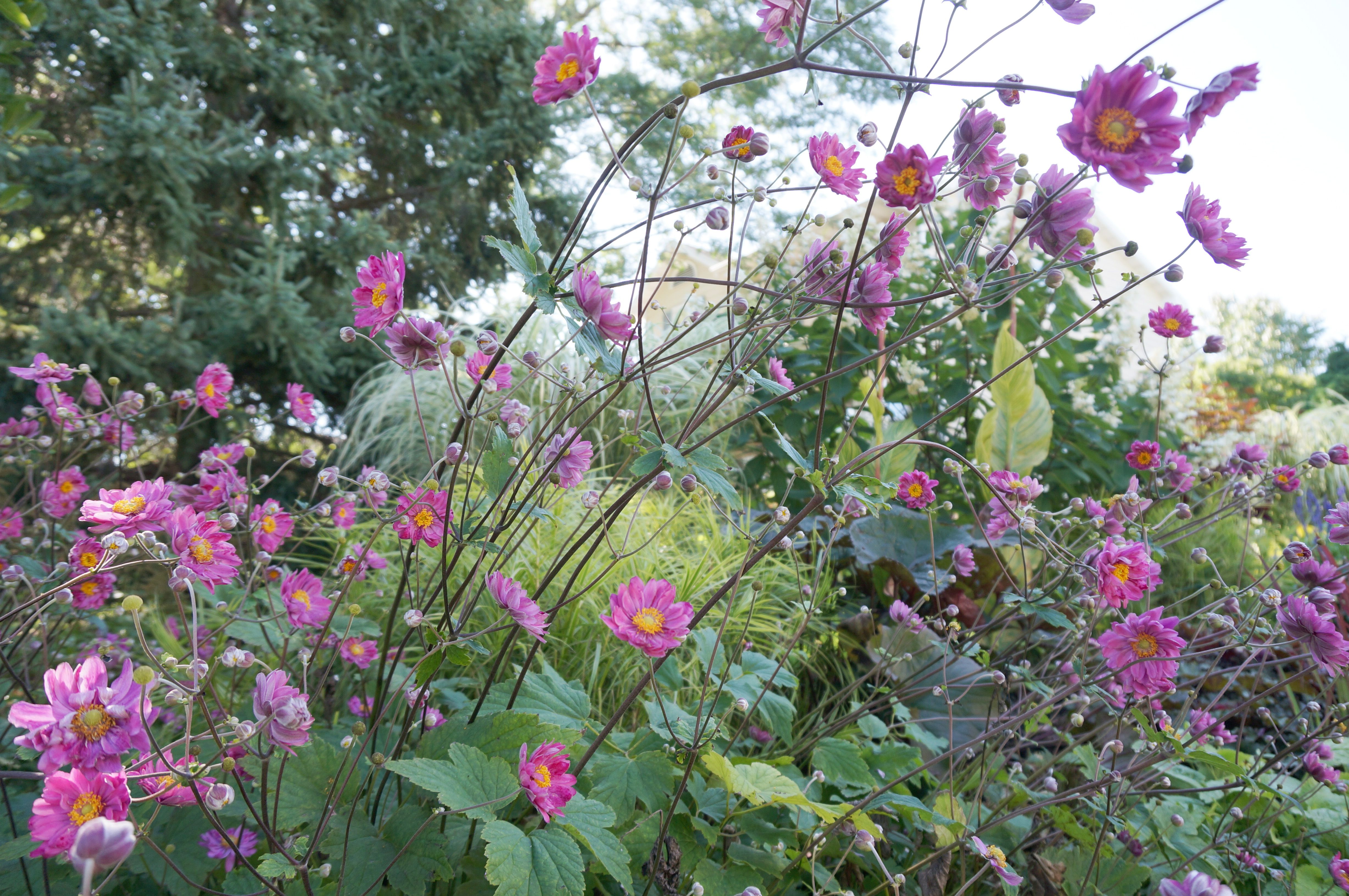 Japanese Anemone Pamina In Front Of Carex Muskigumensis Oehme, Canna