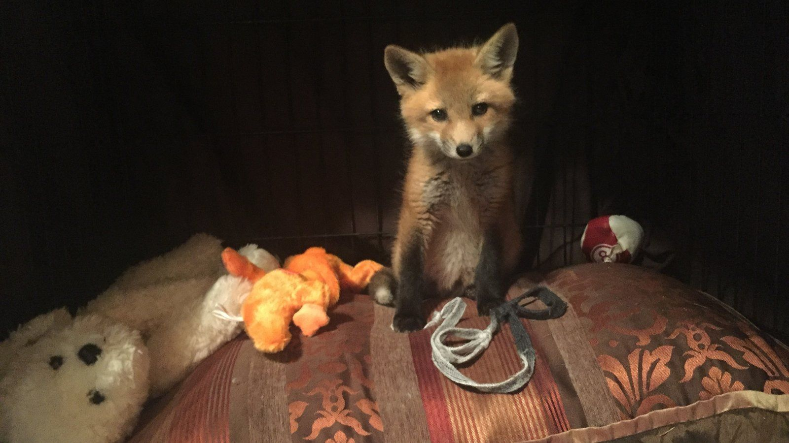 PLEASE SIGN TORY'S PETITION! Cruelty Free Fox species