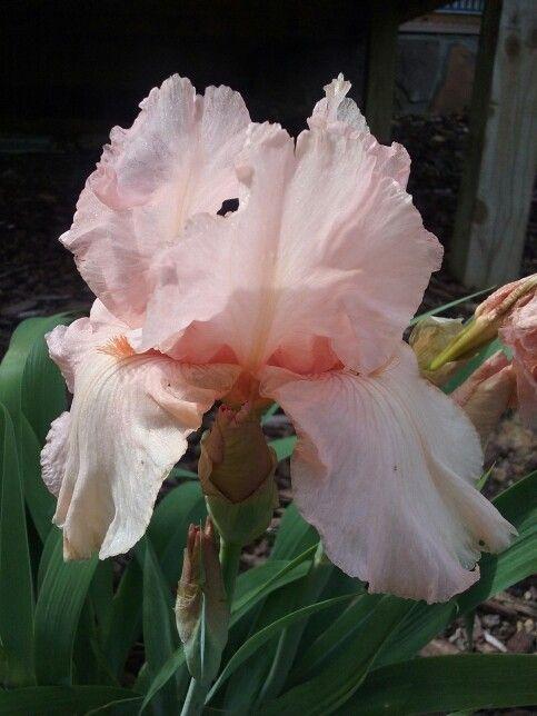 My iris from my yard
