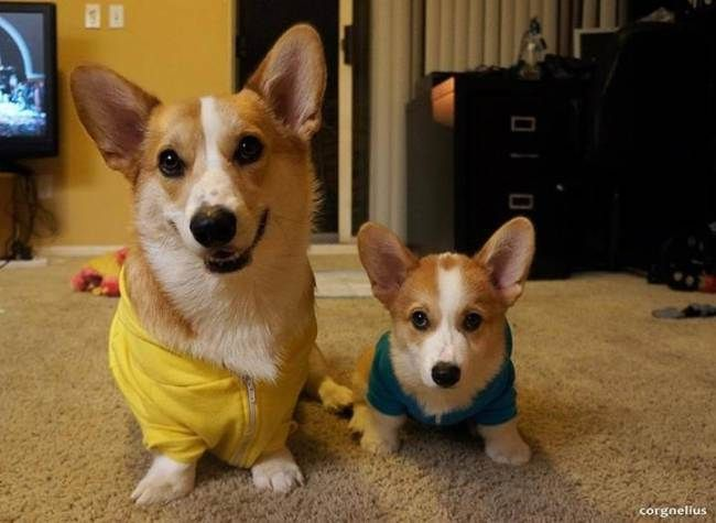 10 Facts About Corgis That Will Make Other Dogs Seem So Basic.