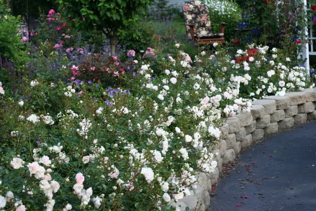 Roses In Garden: Low Growing Rose Ground Cover