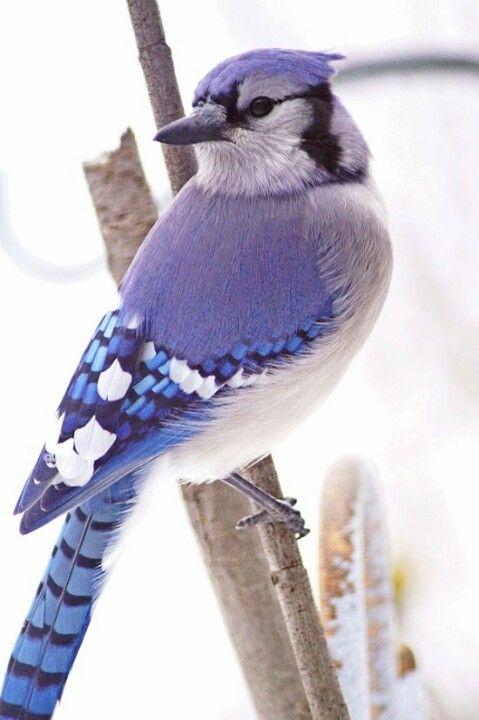 Azulejos se posan en los hombros  PJAROS  AVES  Aves