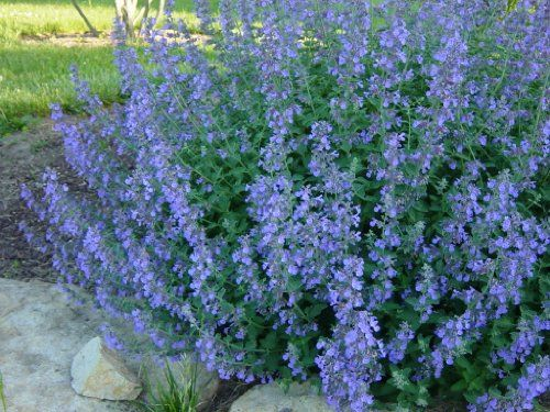 Catmint Walkers Low: Well Established: Container Size: #1 Grimm's Gardens http://www.amazon.com/dp/B00CC0F0CO/ref=cm_sw_r_pi_dp_sLyhvb11FMTM1