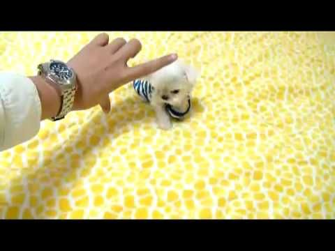 Tea Cup Maltese Tiny Size Dogs For Sale Maltese Puppies For Sale Teacup Puppies Maltese Puppy