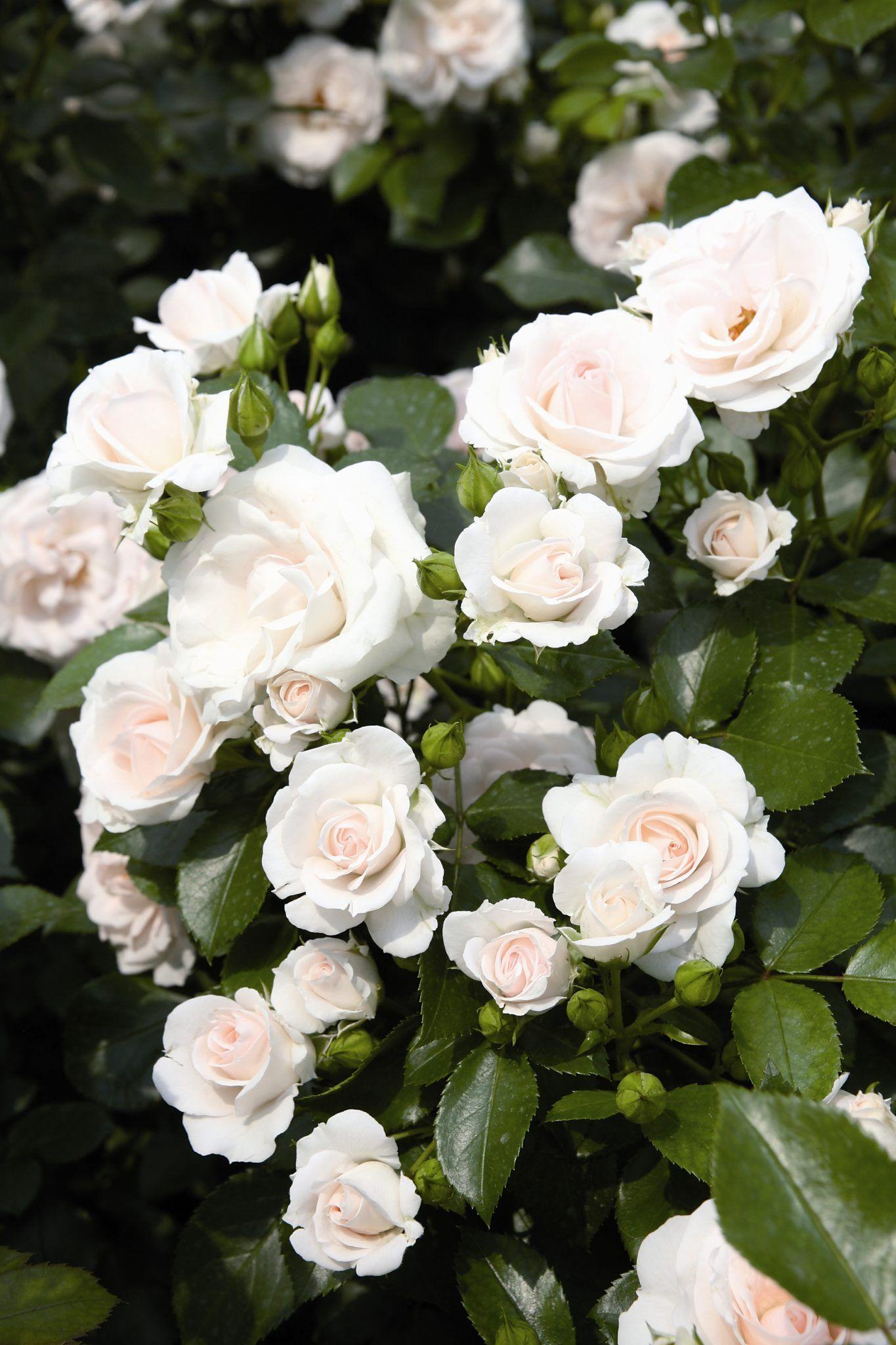 f4693e18fa63ad Eräs parhaista lajikkeista. Tuoksuttomat, valkeat, aavistuksen verran  punertavat kukat. 3-4 kpl/m². Omalta taimistolta!
