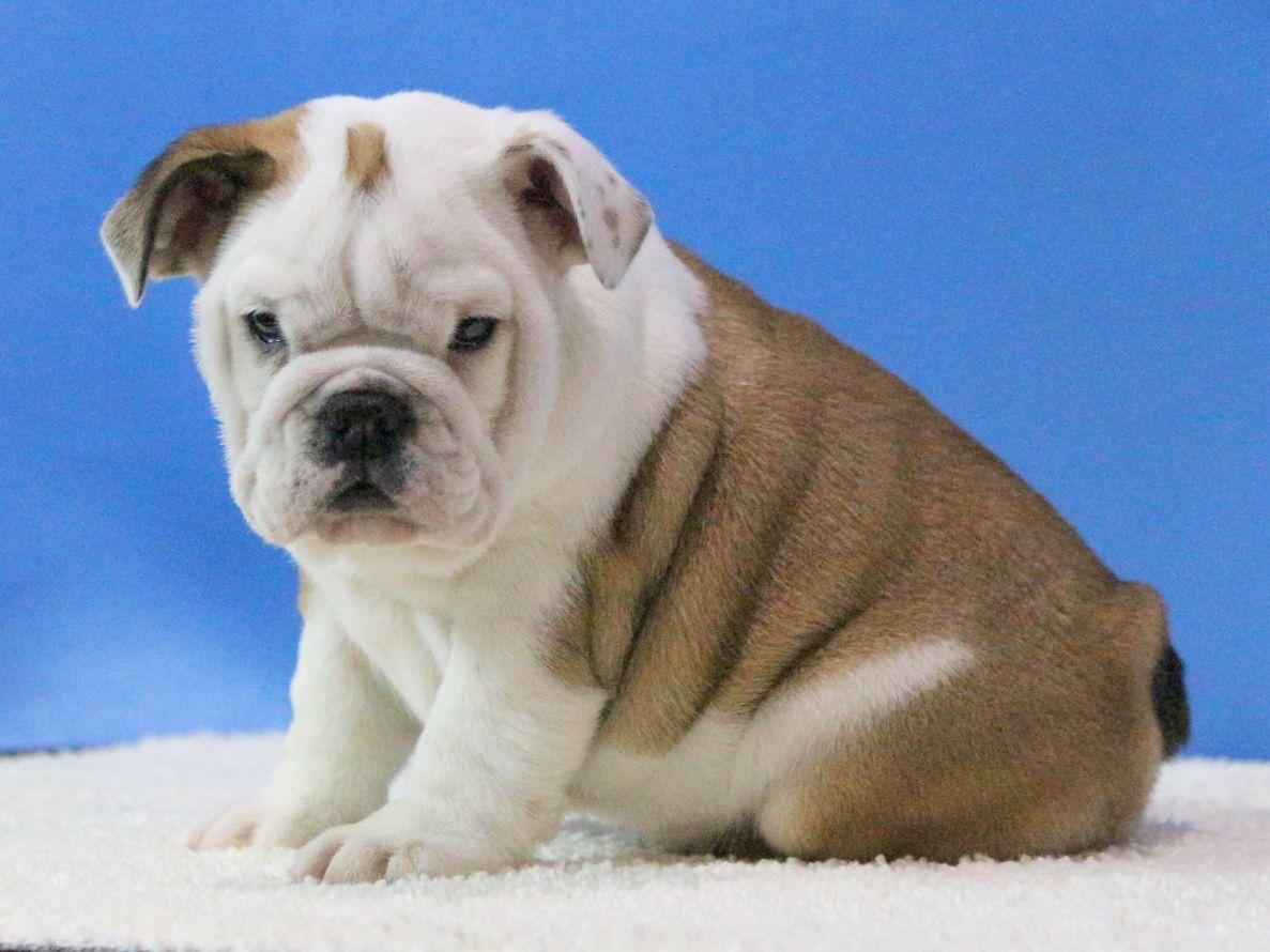 INES 1718 English bulldog puppies, Miniature english
