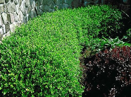 winter gem boxwood partial sun zone 5 9 evergreen shrub 4 6 39 tall and wide if left un. Black Bedroom Furniture Sets. Home Design Ideas