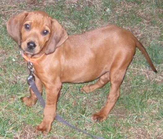 Adopt Elsie On Redbone Coonhound Animal Welfare League Coonhound