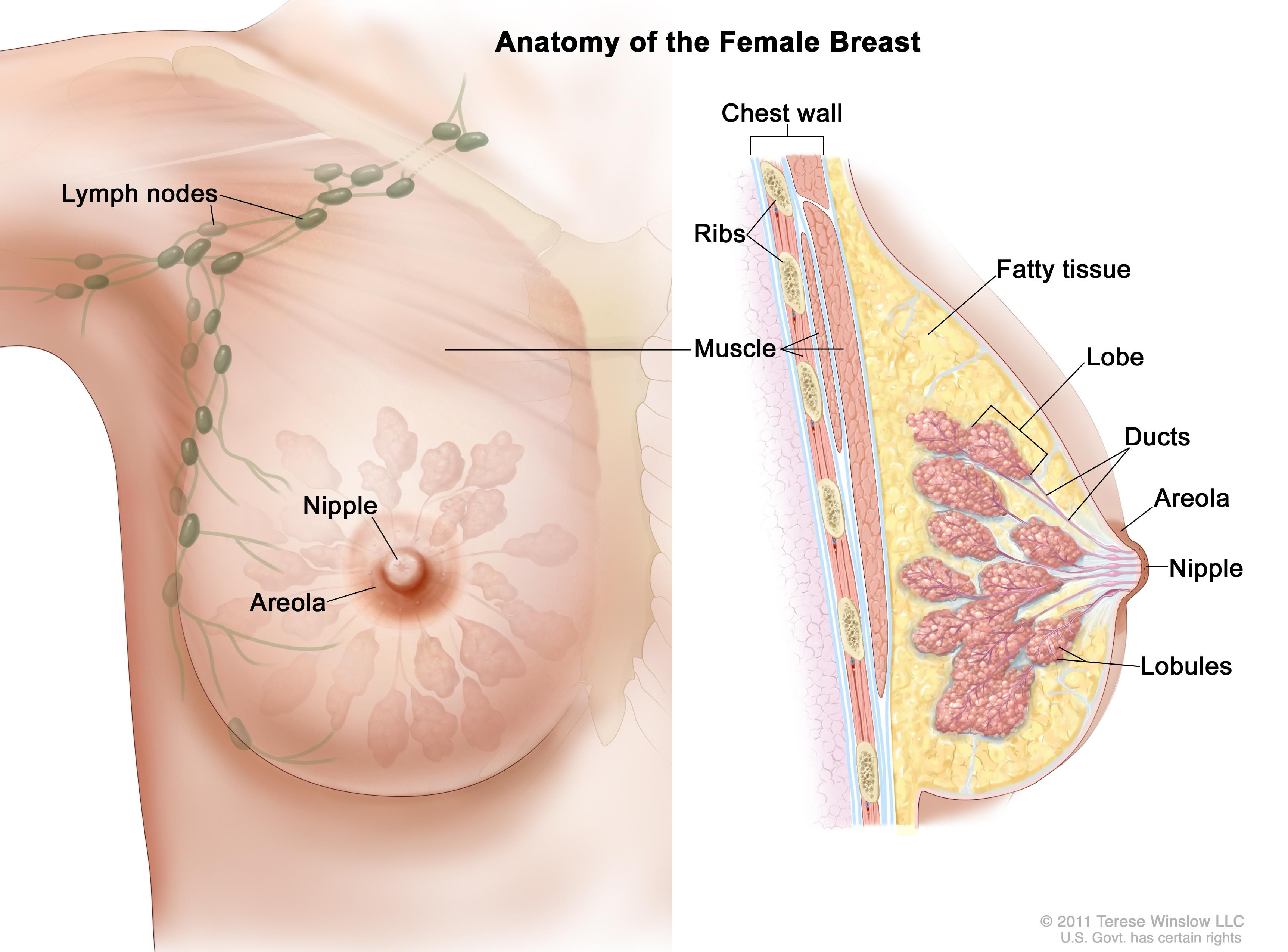 The nipple and areola are shown on the outside of the breast ...