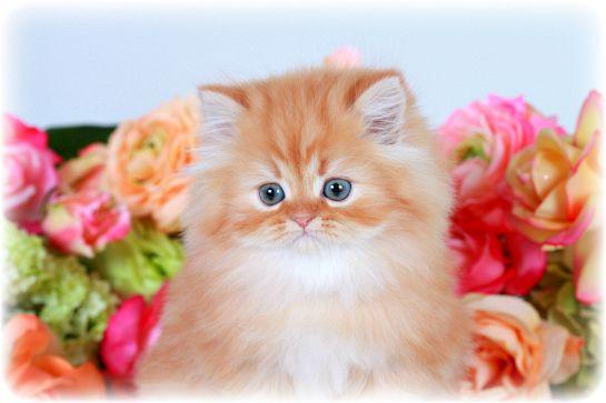 Red Tabby Teacup Persian kitten