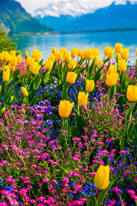 Tulips of Switzerland, Spring time, flowers with the Swiss