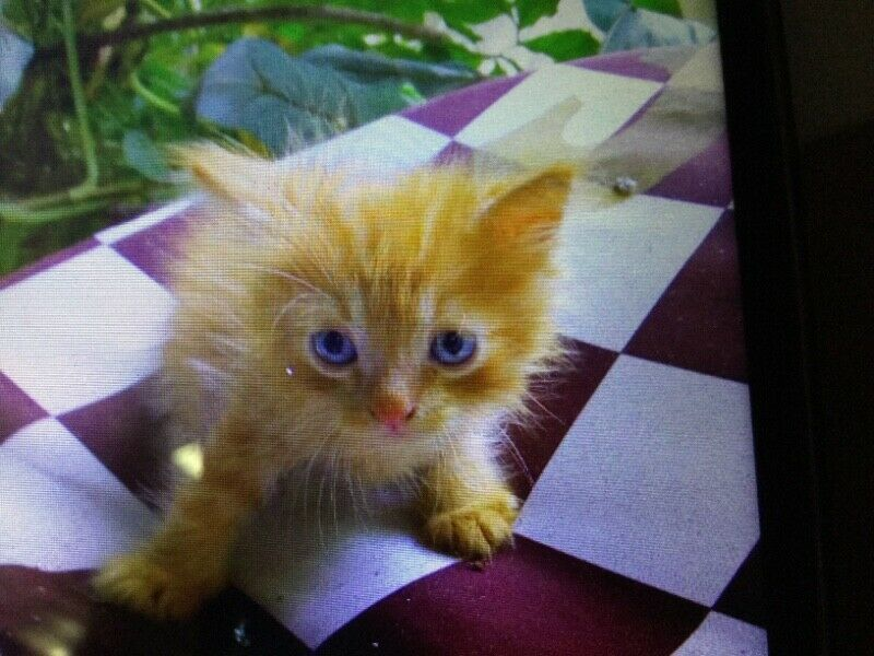 Pure Persian Male Ginger Kitten For Adoption( 2 Month Old)N | Mandai ... #gingerkitten