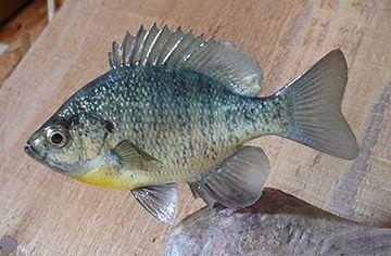 5.5-inch bluegill replica
