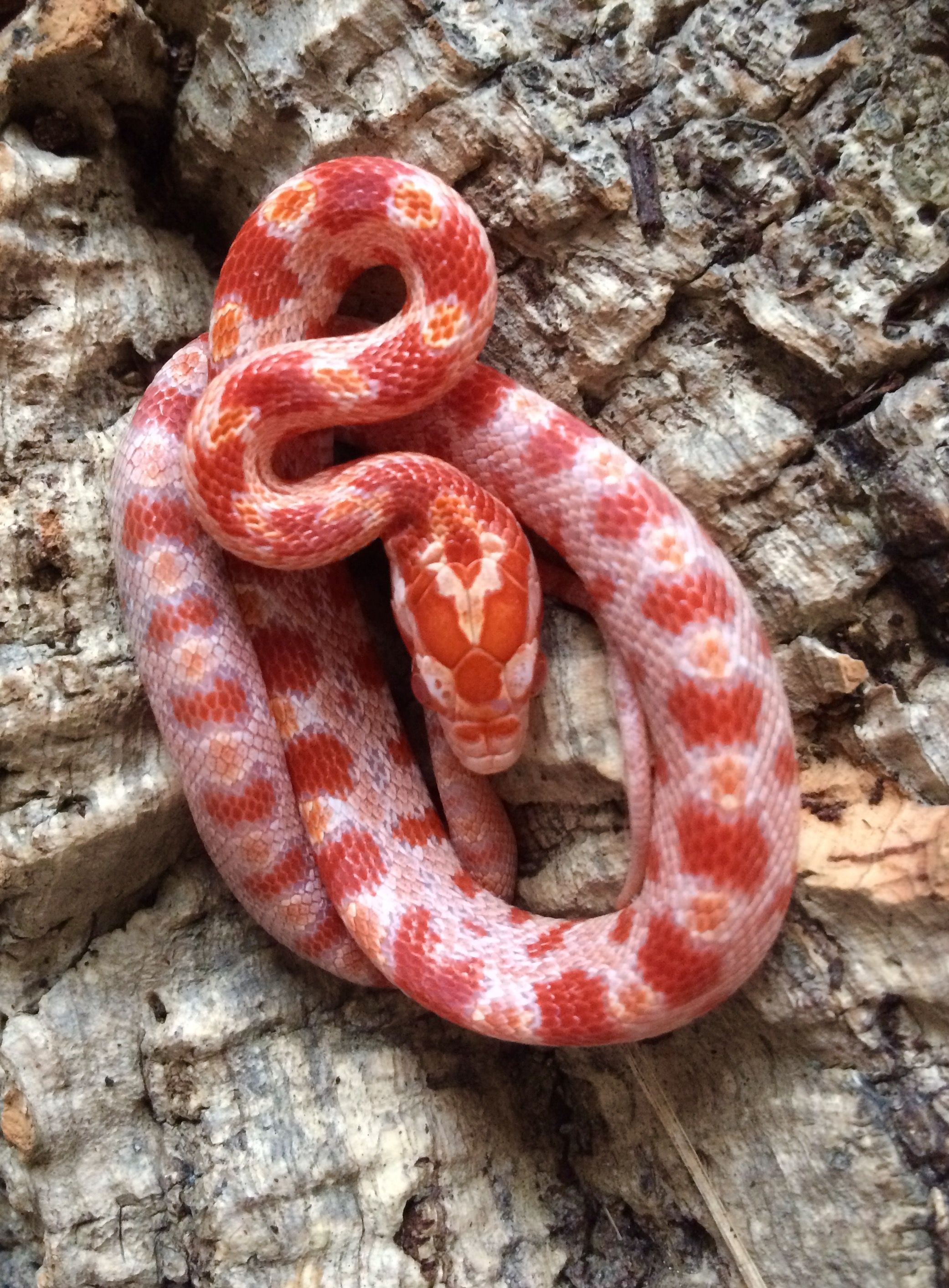 Kornnatter Amel Jungtier Corn Snake Pet Snake Pretty Snakes