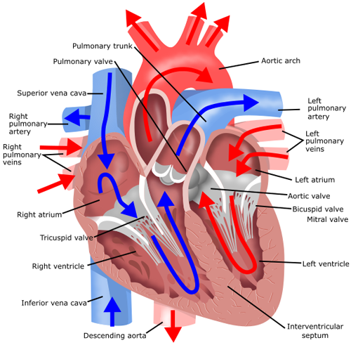 A cross section of a human heart with arrows describing the flow of a cross section of a human heart with arrows describing the flow of blood through the ccuart Choice Image