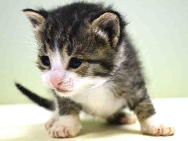 Safe To Be Destroyed 11 21 14 Sweet 3 Week Old Kitten Manhattan Center Came In With Litter Of Kittens 1020437 44 Cat Adoption Animals Cats And Kittens
