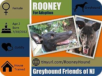 Cherry Hill, NJ Greyhound. Meet Rooney, a dog for