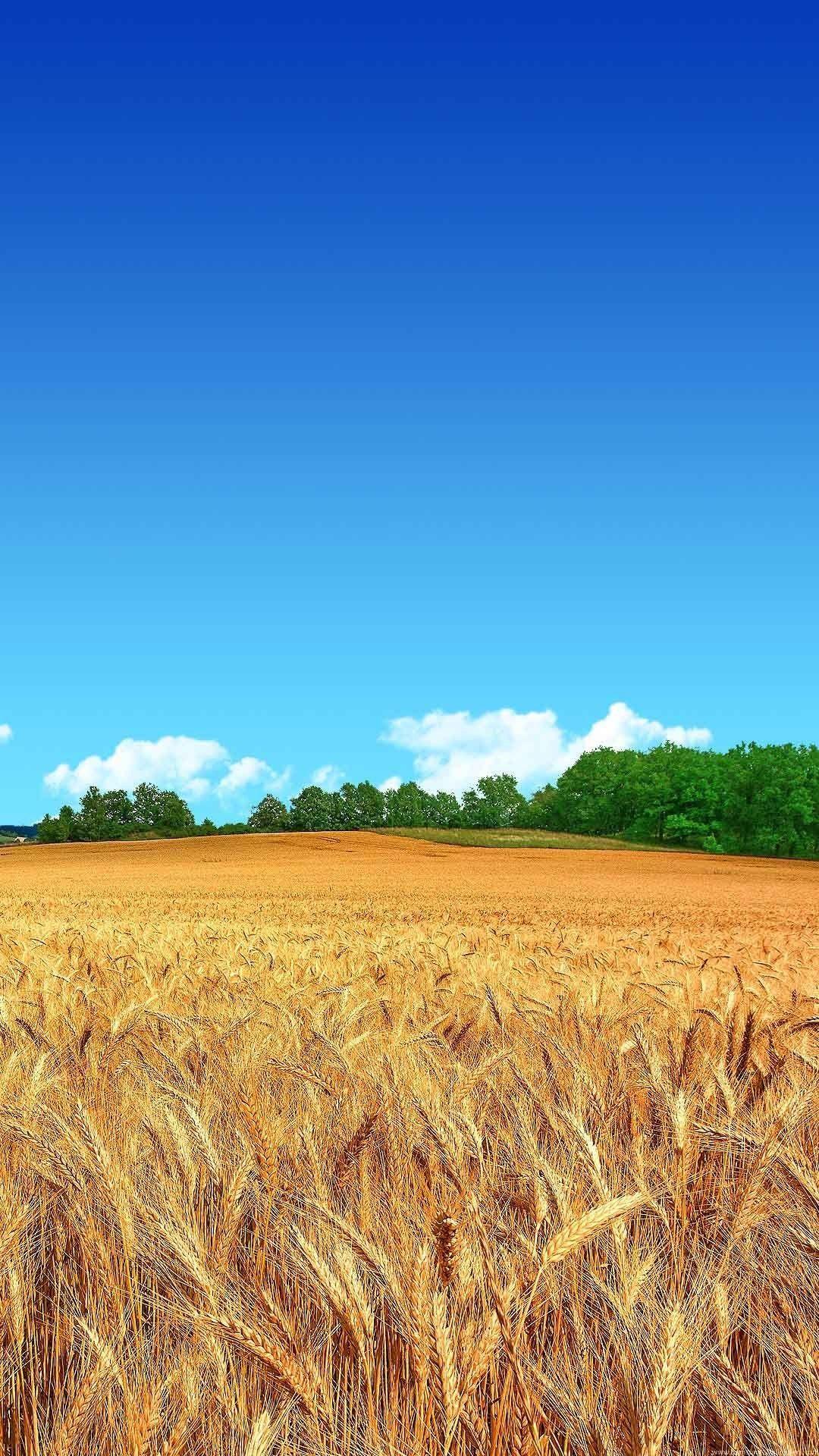 Wheat Field Clear Blue Sky HD Wallpaper NiceBlueSkys
