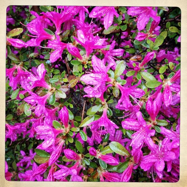 Ein typisches Bild des Frohnauer Frühlings: Der saure Boden der Gartenstadt gefällt vor allem Azaleen und Rhododendren gut, so dass diese im Mai den Stadtteil in ein blühendes Farbenmeer tauchen.