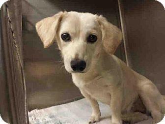 Austin Tx Dachshund Labrador Retriever Mix Meet Sugar A Dog