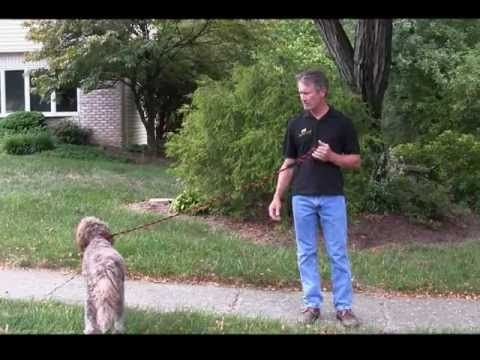Alpha Dog Obedience Training Basic Steps To Train Your Dog
